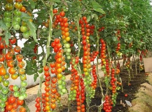 Все о помидорах