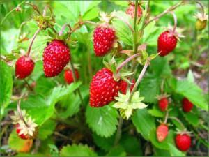 Полезная ягода земляника1